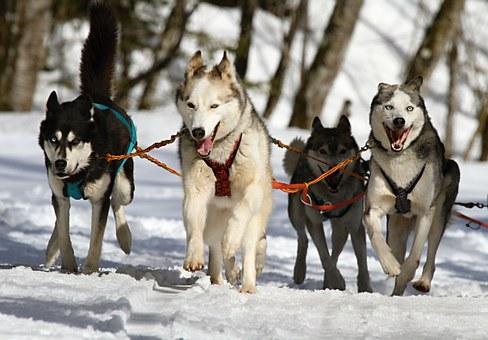 huskies sledding